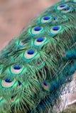 павлин глаза Стоковые Фотографии RF