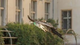 павлин движения листва летания Стоковое Изображение