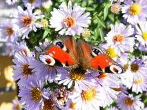 павлин европейца бабочки Стоковое Фото