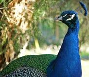 павлин животных Стоковая Фотография RF