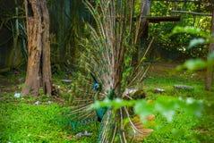 Павлин Закройте вверх павлина показывая свои красивые пер красивейший павлин Мужской павлин показывая его пер кабеля squished Стоковое Фото