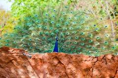 Павлин Закройте вверх павлина показывая свои красивые пер Стоковая Фотография RF