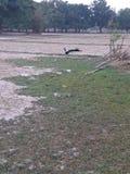 Павлин на поле стоковое фото rf