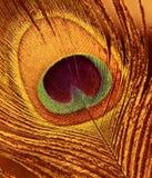 павлин пера предпосылки Стоковая Фотография RF