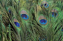 павлин пера Стоковые Изображения