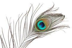 павлин пера Стоковая Фотография RF