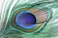павлин пера Стоковые Фотографии RF