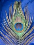 павлин пера Стоковые Изображения RF