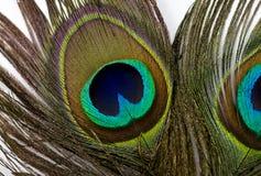 павлин пер птицы Стоковое фото RF