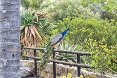 Павлин сидя на загородке перил Мир дикого животного Стоковое Изображение