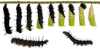 павлин смеси бабочки Стоковые Фотографии RF