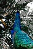 Павлин смотря, что резюмировать предпосылку тропического леса цветов стоковое изображение rf