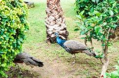 Павлин среди деревьев Стоковая Фотография RF