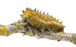 павлин сумеречницы гусеницы гигантский Стоковое фото RF