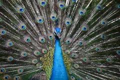 Павлин с красочными открытыми красивыми пер Стоковая Фотография