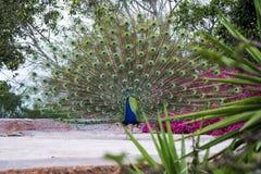 Павлин с цветастыми пер Мир дикого животного Стоковые Изображения RF