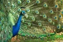 павлин цветеня полный Стоковые Изображения