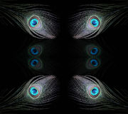 павлин 5 глаз Стоковое фото RF