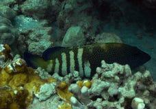 павлин grouper Стоковая Фотография RF