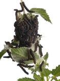 павлин io inachis гусениц бабочки Стоковые Изображения RF