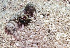 павлин mancus flounder bothus Стоковое Изображение RF