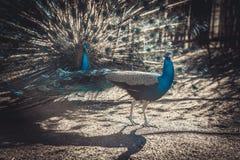 2 павлина на зоопарке показывают друг к другу Стоковое Фото