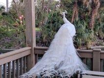 Павлин альбиноса Стоковые Изображения
