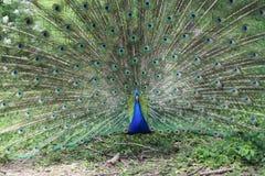 Павлин в ботаническом саде Стоковое Изображение