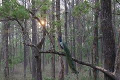 Павлин в лесе сидя на дереве Стоковое Изображение RF