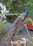 Павлин в заднем дворе Стоковое Изображение RF