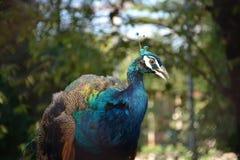 Павлин в зоопарке Стоковая Фотография RF