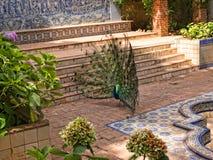 Павлин в Jardim Marechal Carmona садовничает в Cascais Португалии Стоковое фото RF