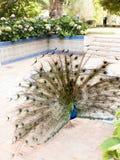 Павлин в Jardim Marechal Carmona садовничает в Cascais Португалии Стоковое Фото