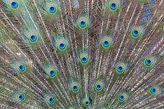 Павлин глаза Стоковая Фотография