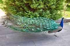 Павлин идет в парк Стоковая Фотография RF