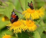 Павлин и малые бабочки tortoiseshell стоковое изображение