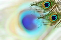 Павлин оперяется в предпосылке нерезкостей с космосом экземпляра текста Стоковое Фото