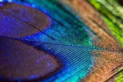 Павлин пера Стоковое Изображение RF