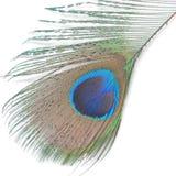 павлин пер зеленый Стоковые Изображения