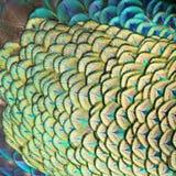 павлин пер зеленый Стоковые Фотографии RF