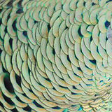 павлин пер зеленый Стоковая Фотография