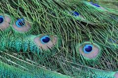 павлин пер зеленый Стоковые Фото
