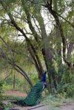 Павлин под деревом Стоковые Изображения