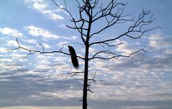 Павлин спать на дереве Стоковое Фото