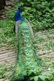 Павлин с яркими красочными пер Стоковая Фотография RF
