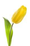 падает желтый цвет воды тюльпана Стоковые Фотографии RF