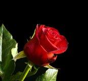 падает красная розовая вода Стоковая Фотография RF