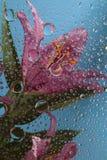 падает лилия oriental Стоковые Фото