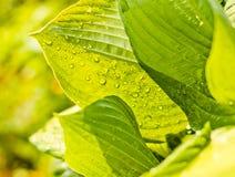 падает свежая зеленая вода листьев Стоковые Изображения RF