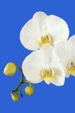 падает orchis стоковое изображение